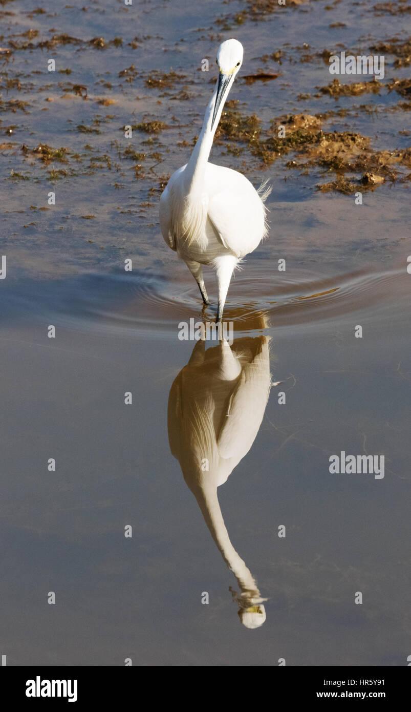 great-egret-ardea-alba-also-known-as-com