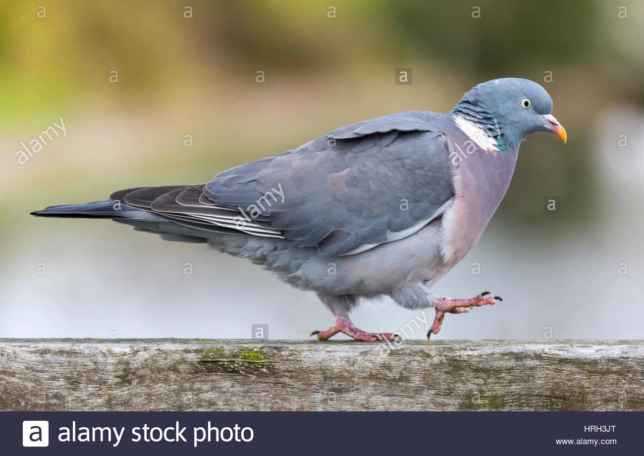 side-view-of-a-pigeon-walking-HRH3JT.jpg