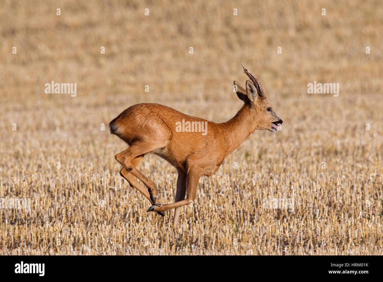 european-roe-deer-capreolus-capreolus-bu