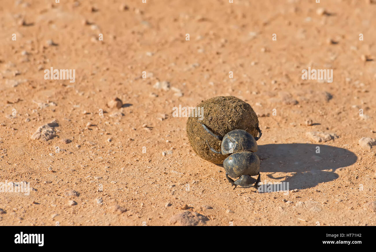 Dung beetle moving dung Stock Photo
