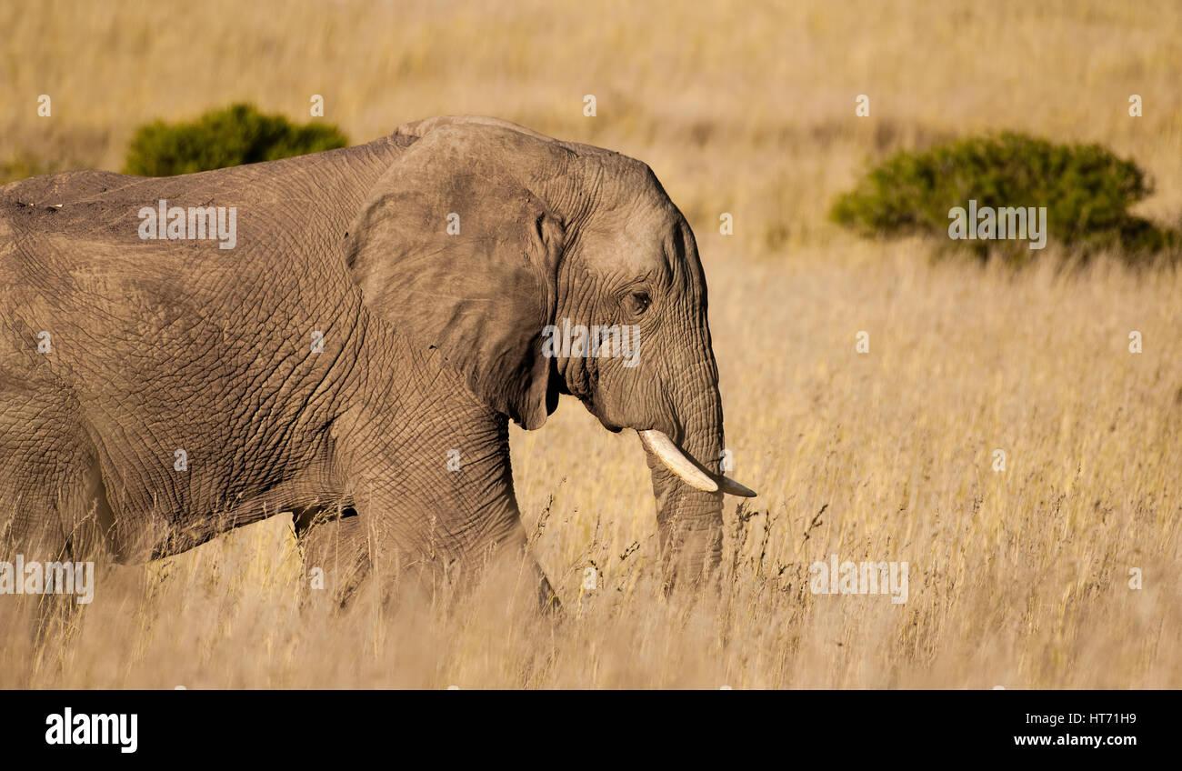 Elephant walking through plains Stock Photo