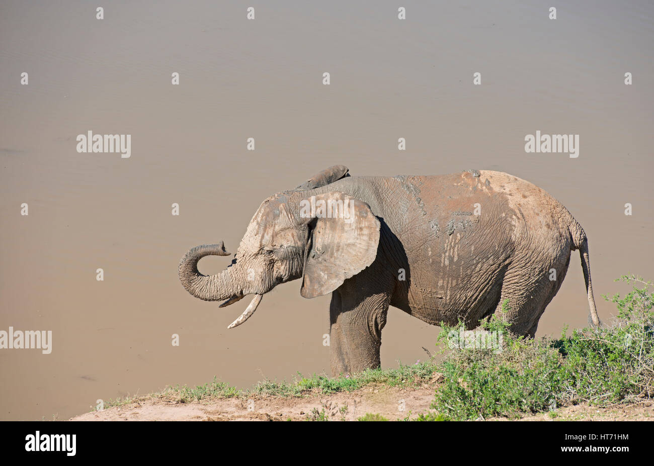 Elephant with mud lifting trunk Stock Photo