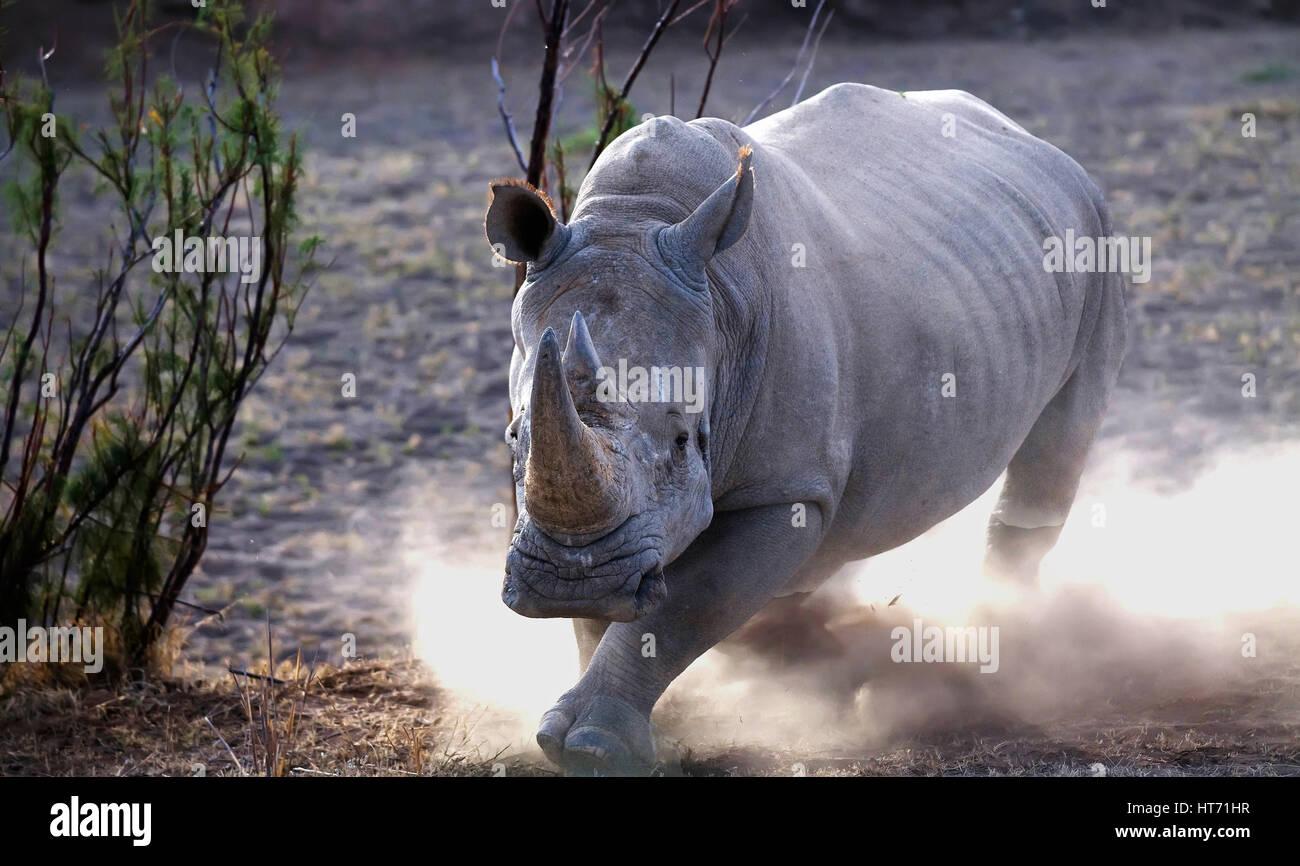 Rhinoceros charging Stock Photo