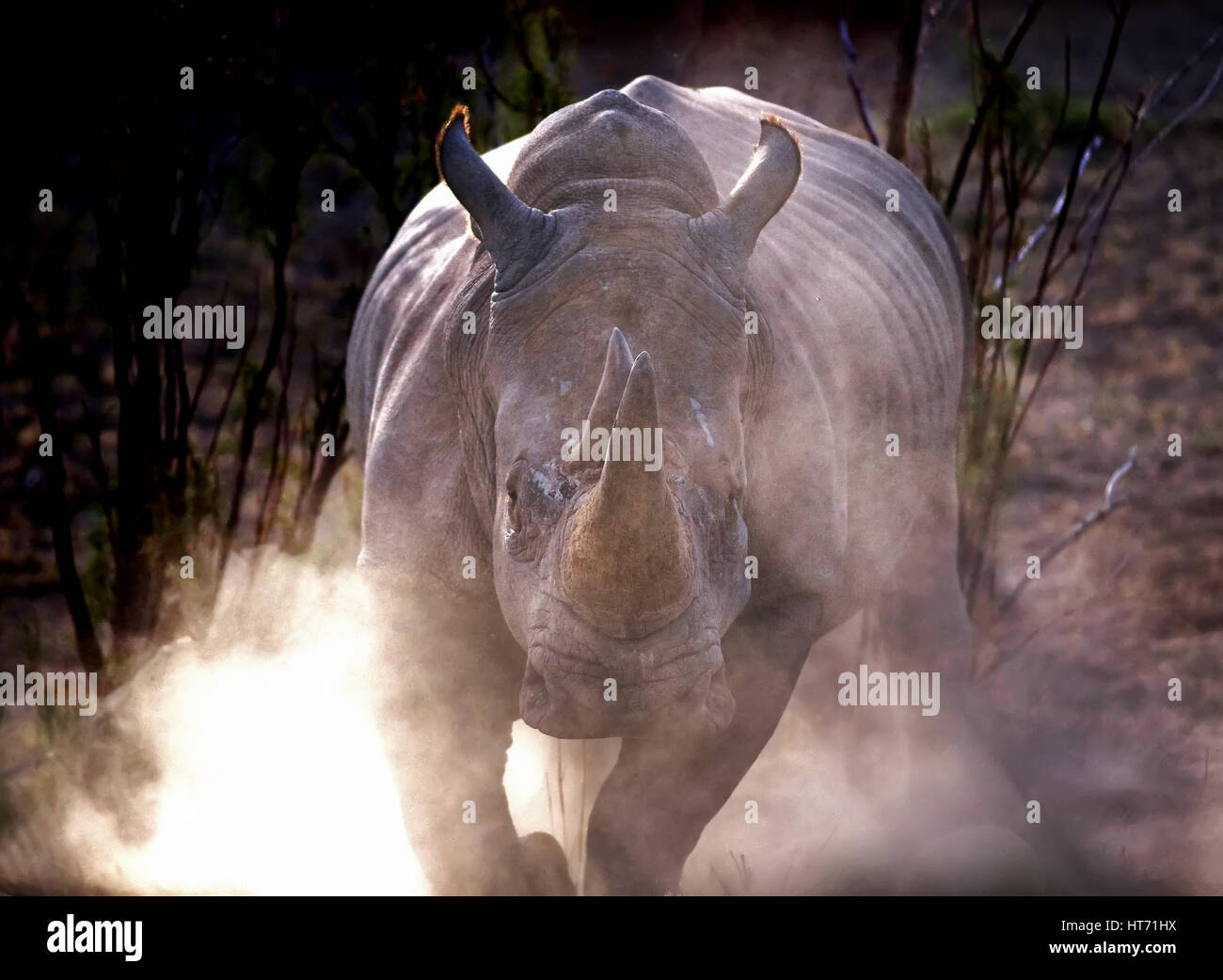 Rhino charge with dust Stock Photo