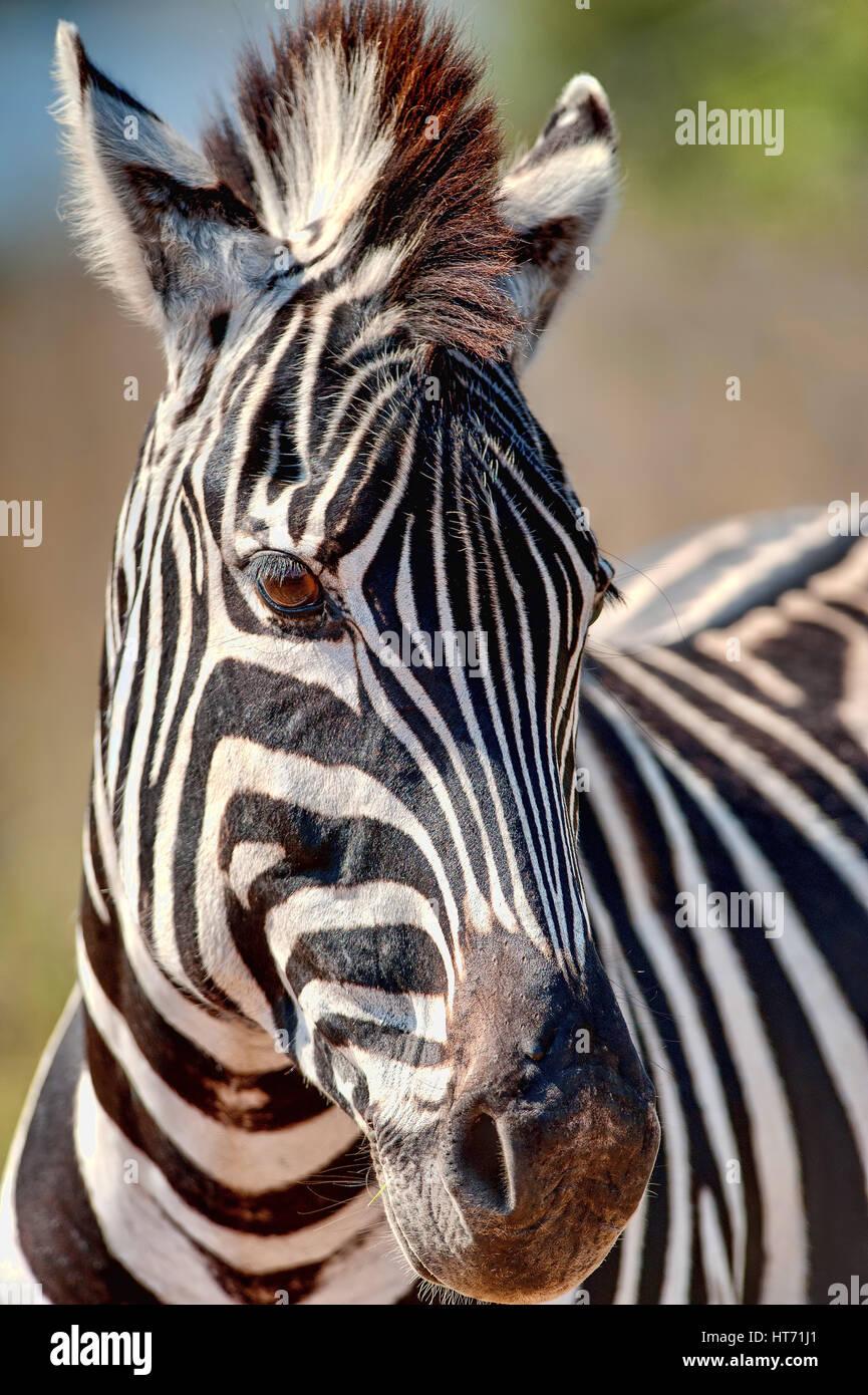 Zebra close up Stock Photo