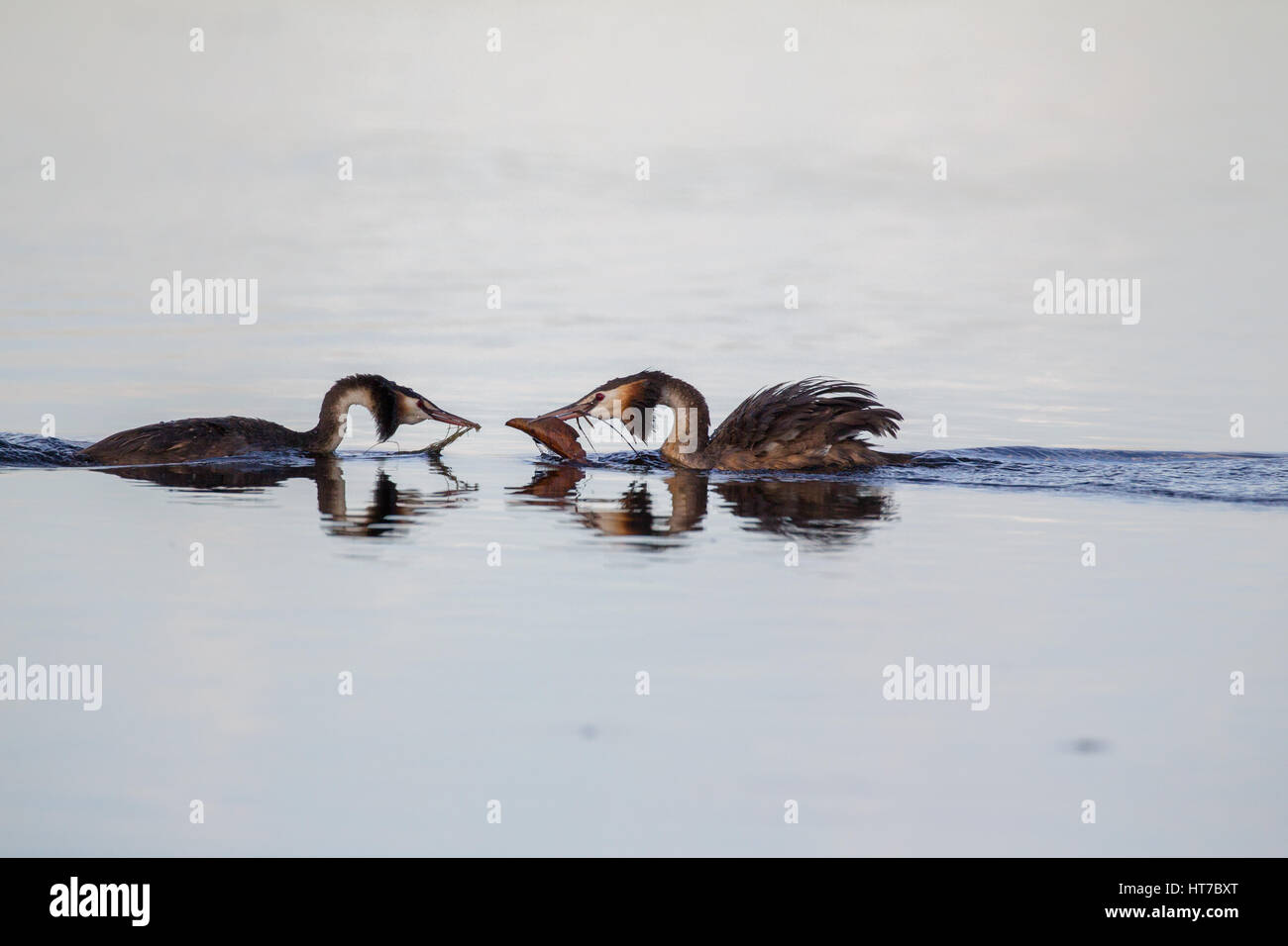 Great Crested Grebes Courting Stock Photo