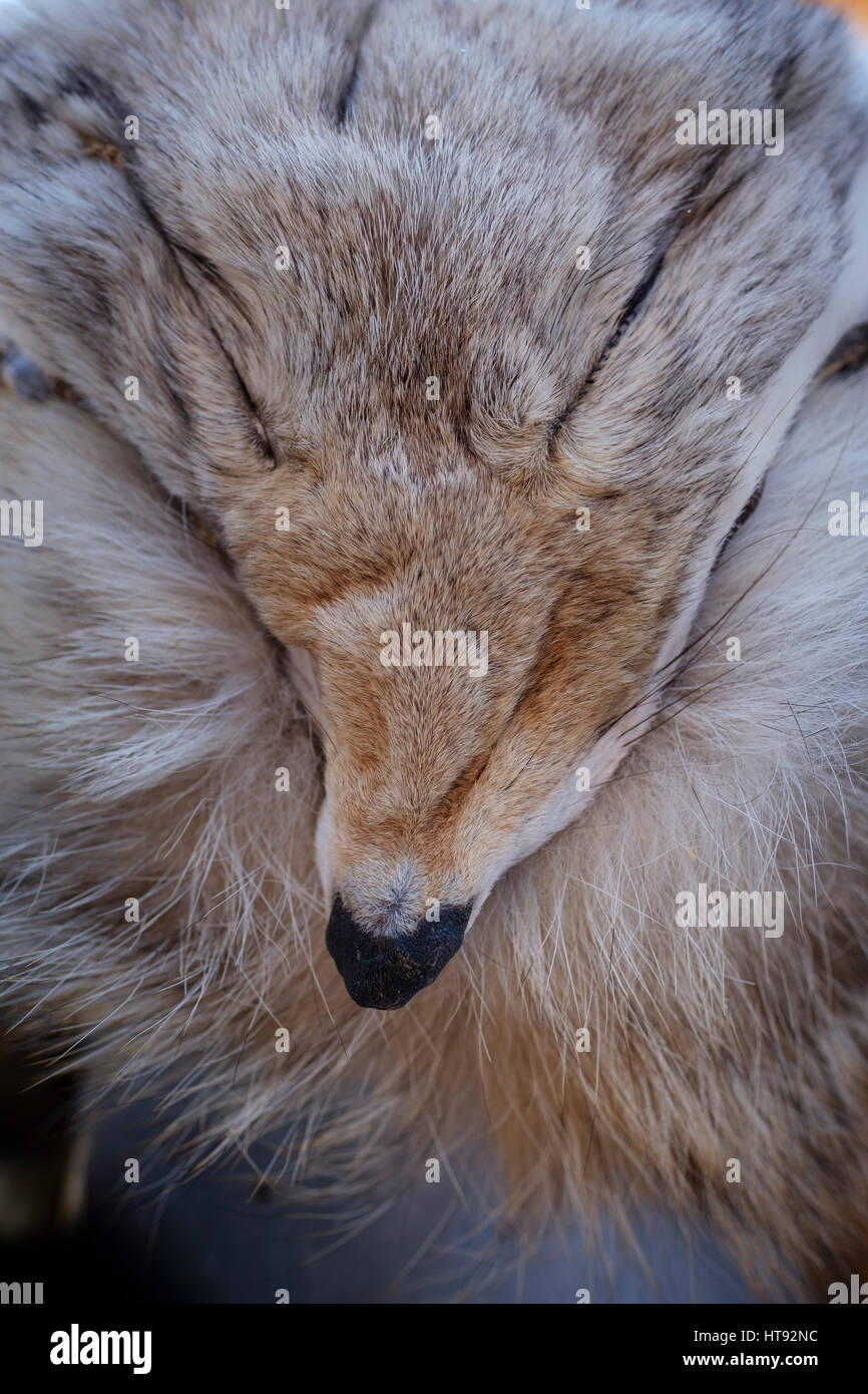 coyote-canis-latrans-fur-pelt-close-up-s