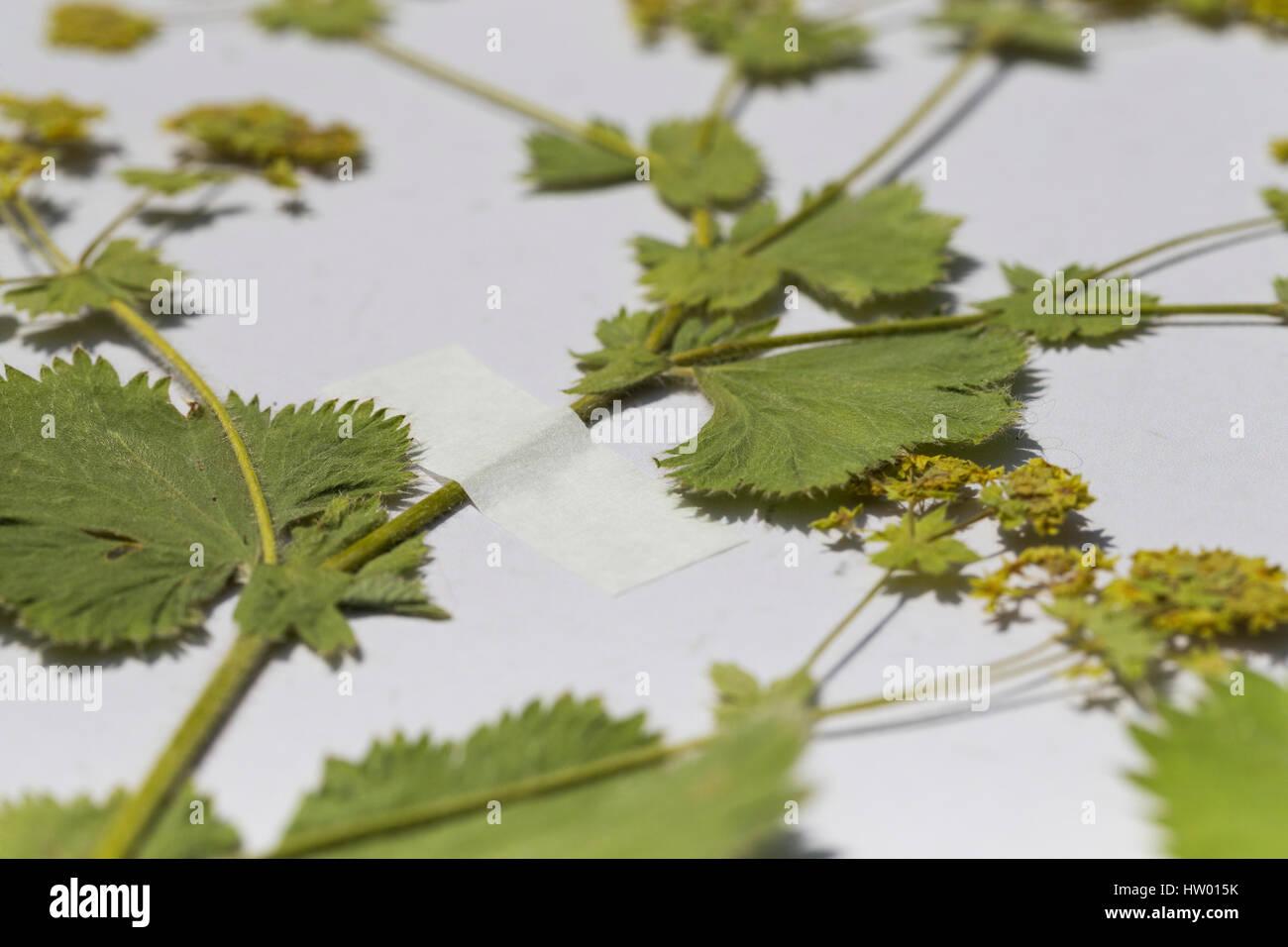 gepresste pflanze wird mit klebestreifen am herbarbogen fixiert stock photo royalty free image. Black Bedroom Furniture Sets. Home Design Ideas