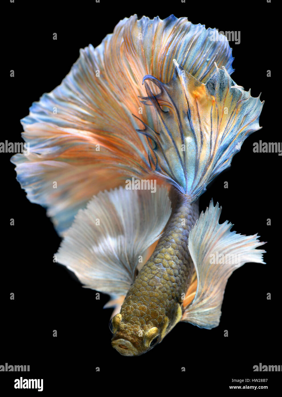 Betta fish in freedom action and show the beautiful fins for Show me pictures of fish