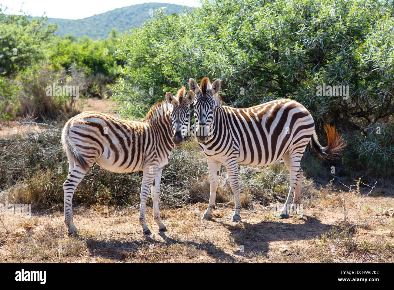 zebras-pair-of-zebras-plains-zebra-equus