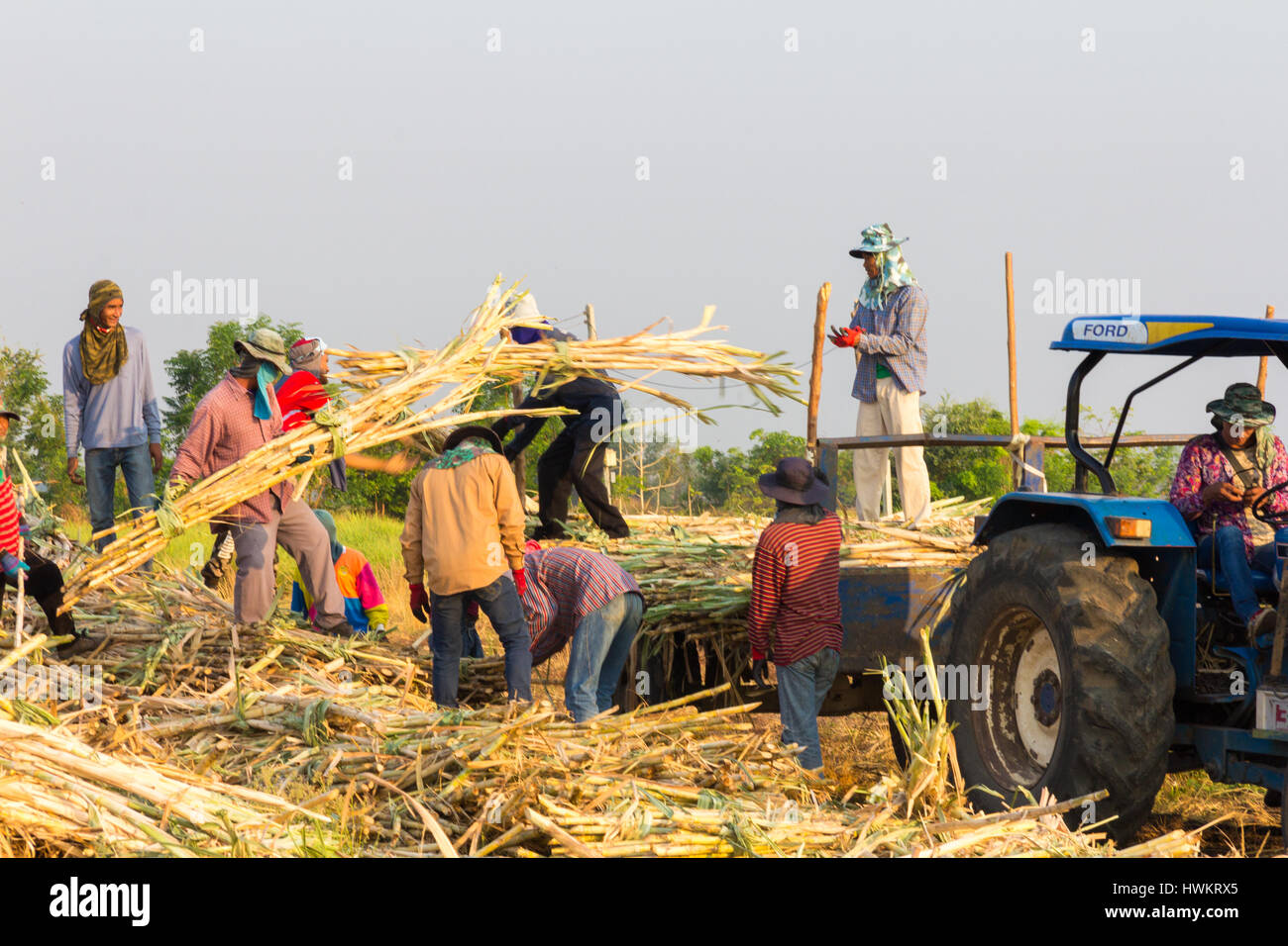 farm-workers-harvesting-sugar-beet-in-lo