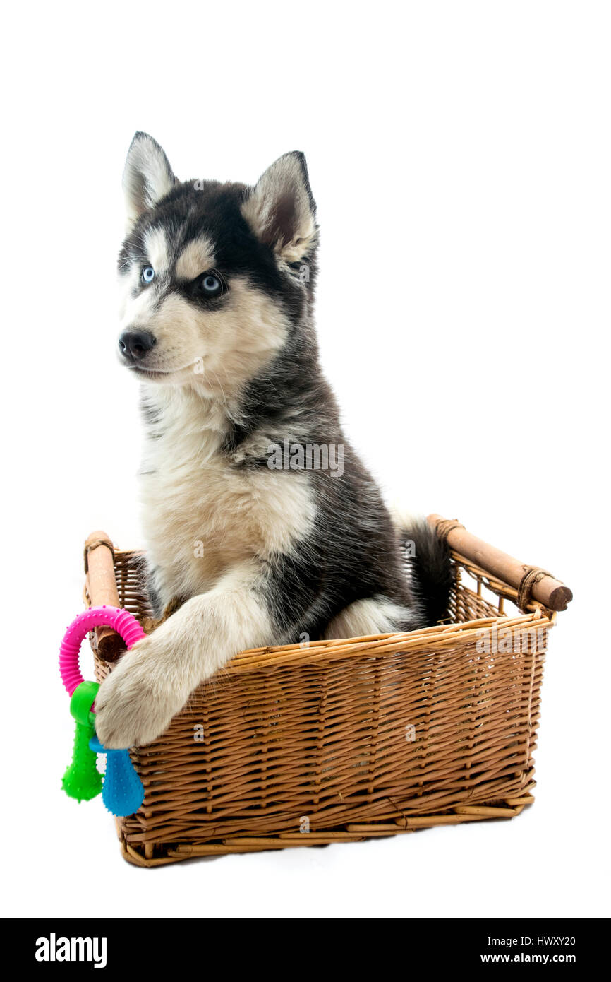 How to Buy a Siberian Husky Puppy picture
