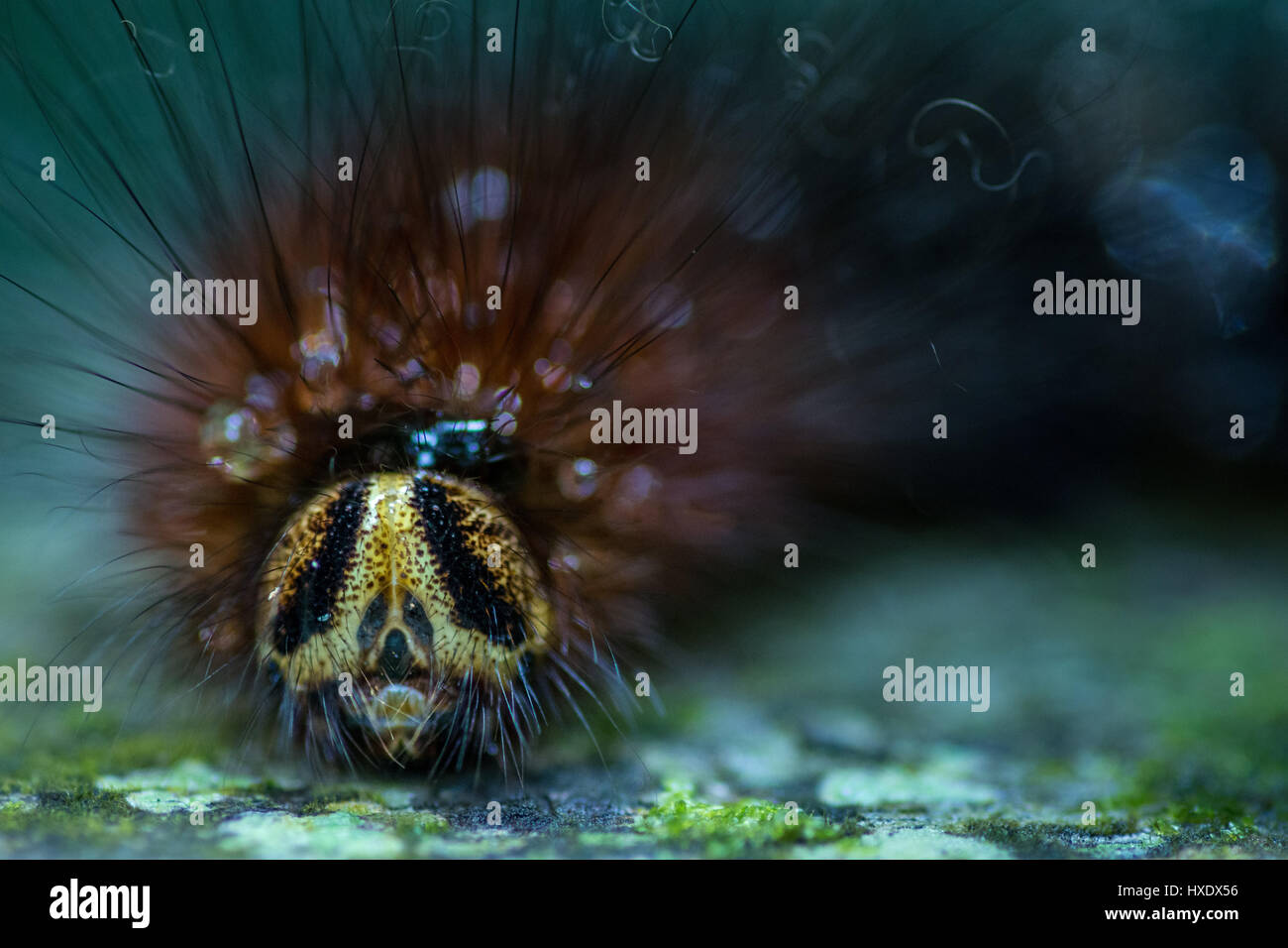 Close up macro of the face of a Hairy Gypsy Moth Caterpillar. Stock Photo