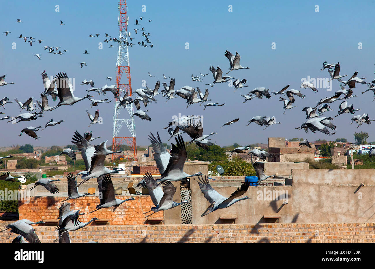 demoiselle-cranes-at-village-khichan-raj