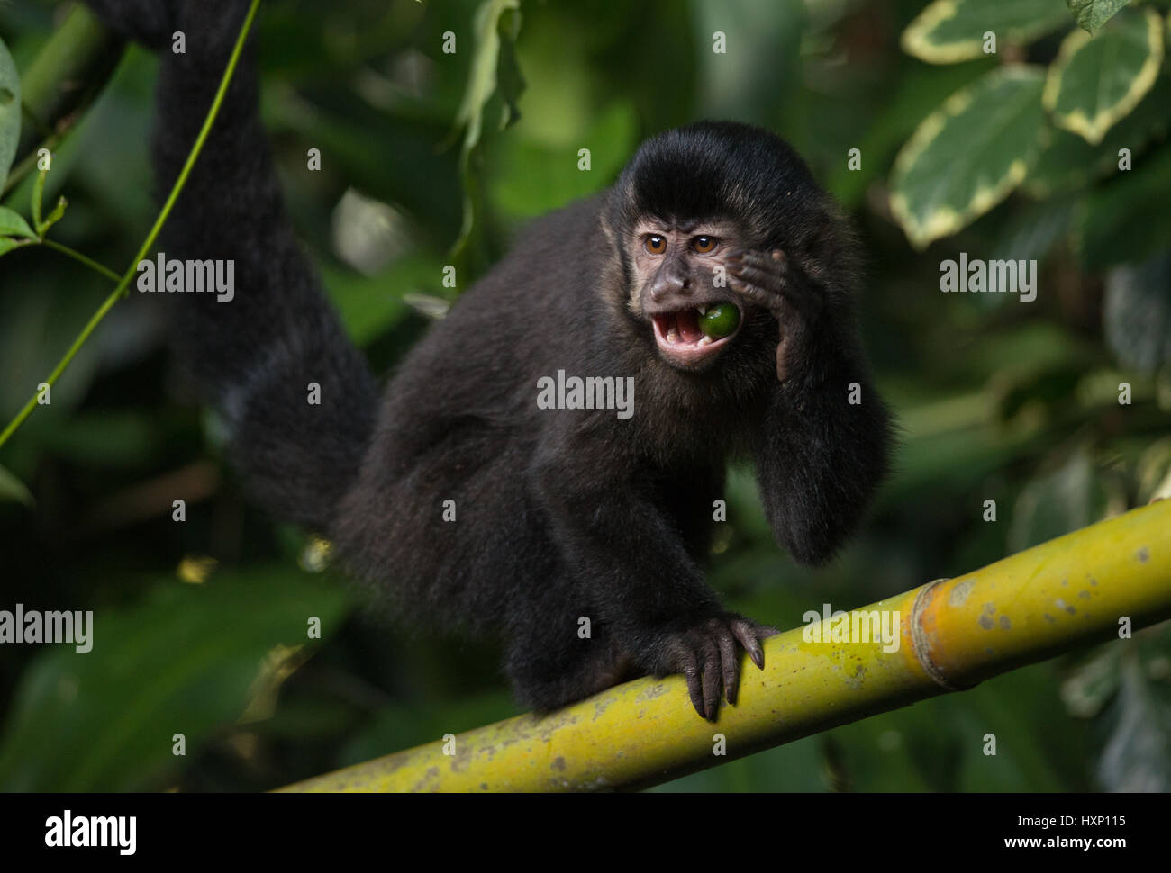 A Black Capuchin Monkey from the Atlantic Rainforest Stock Photo