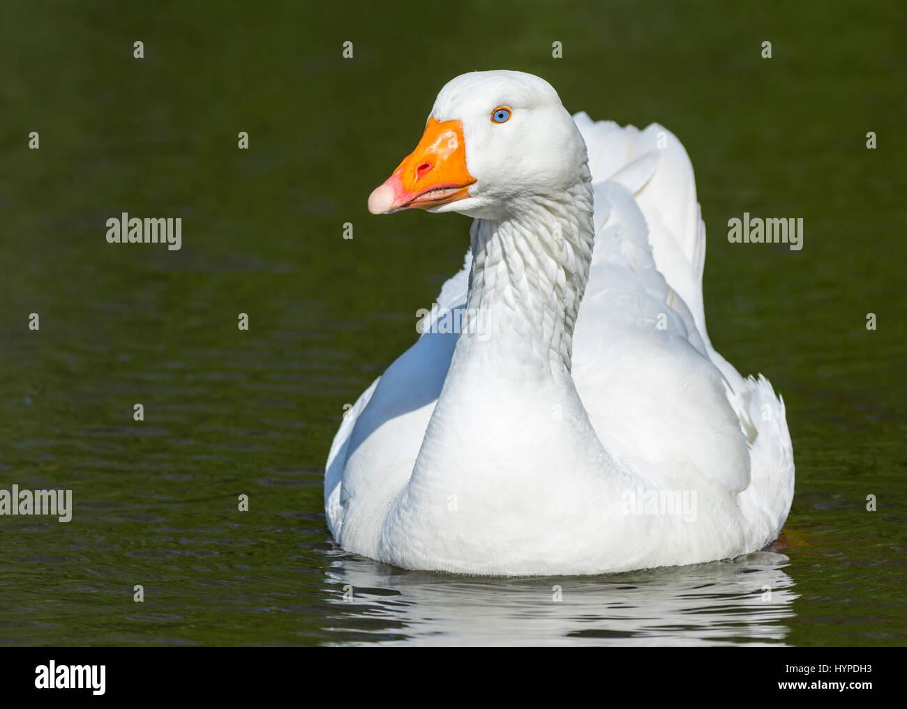 white-embden-goose-anser-anser-domesticu