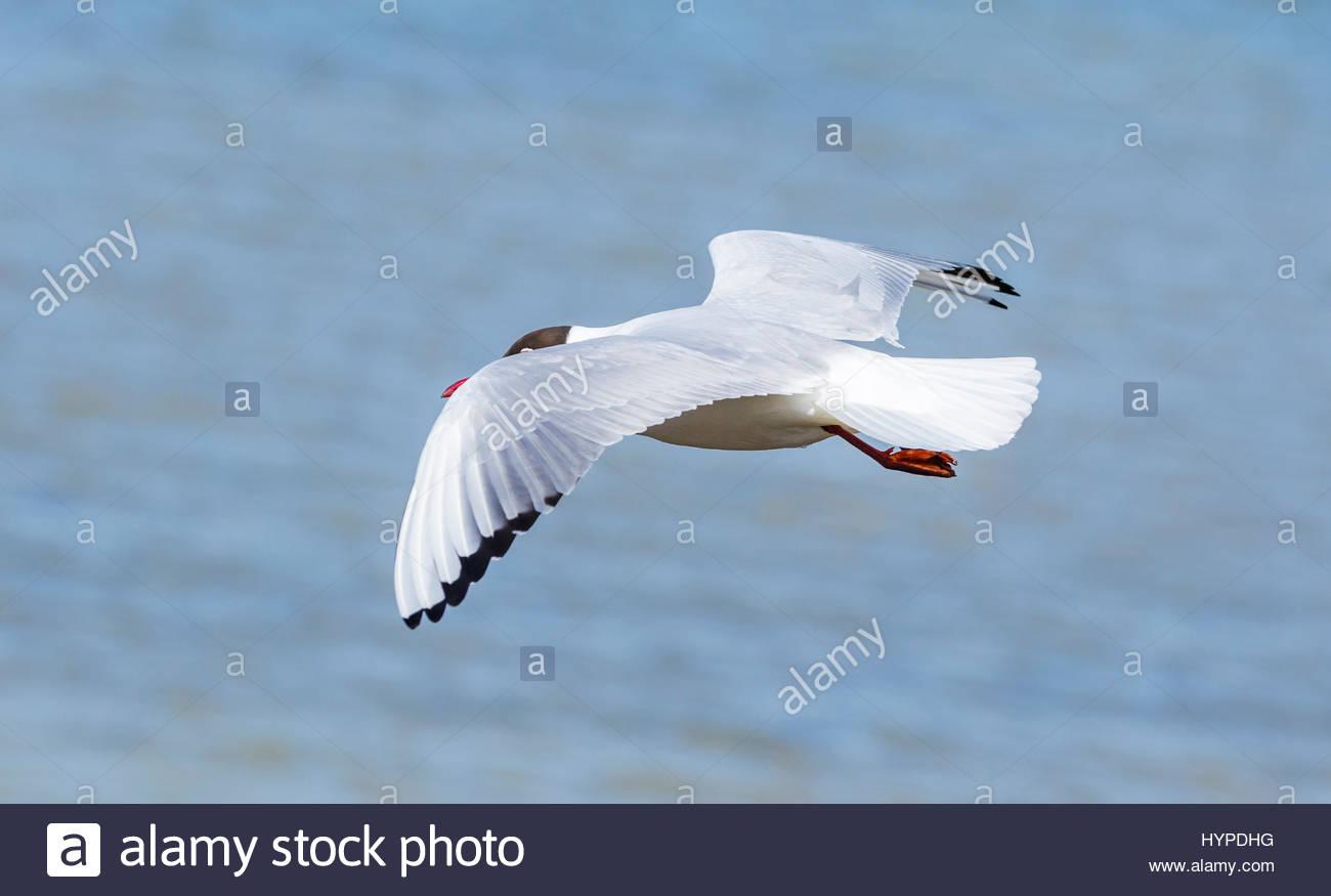 adult-black-headed-gull-chroicocephalus-