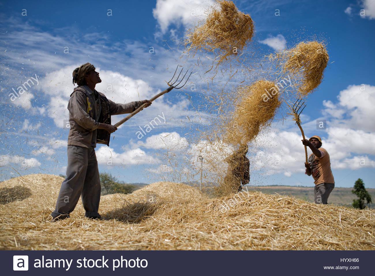 farmers-thresh-and-winnow-wheat-in-ethio