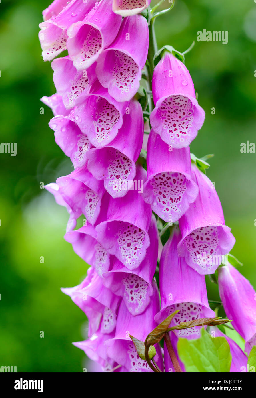 Purple common Foxglove plant (Digitalis purpurea) growing in early Summer in the south of the UK. Stock Photo