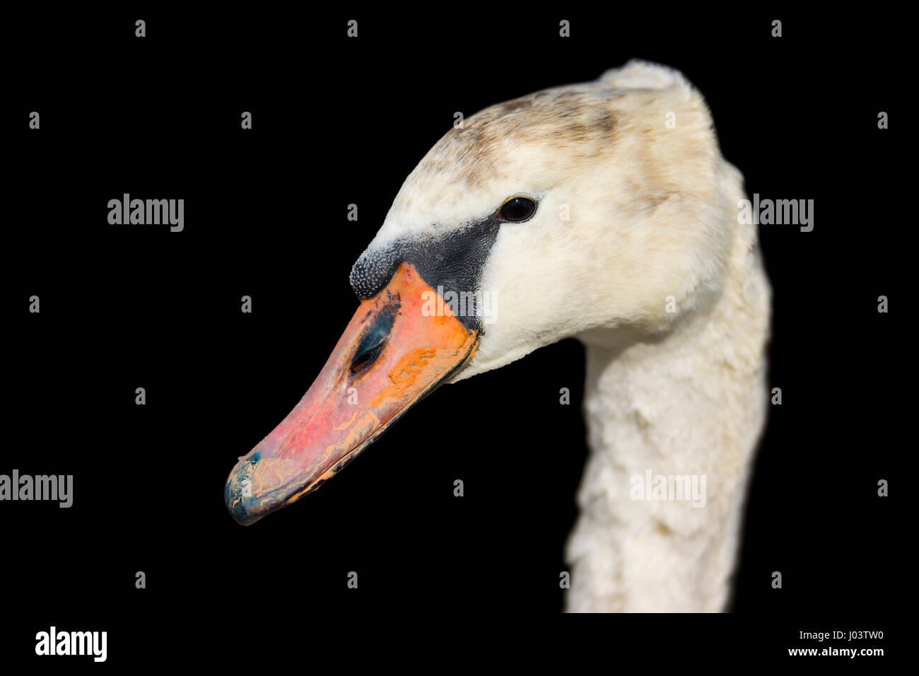 closeup-head-of-a-white-mute-swan-cygnus