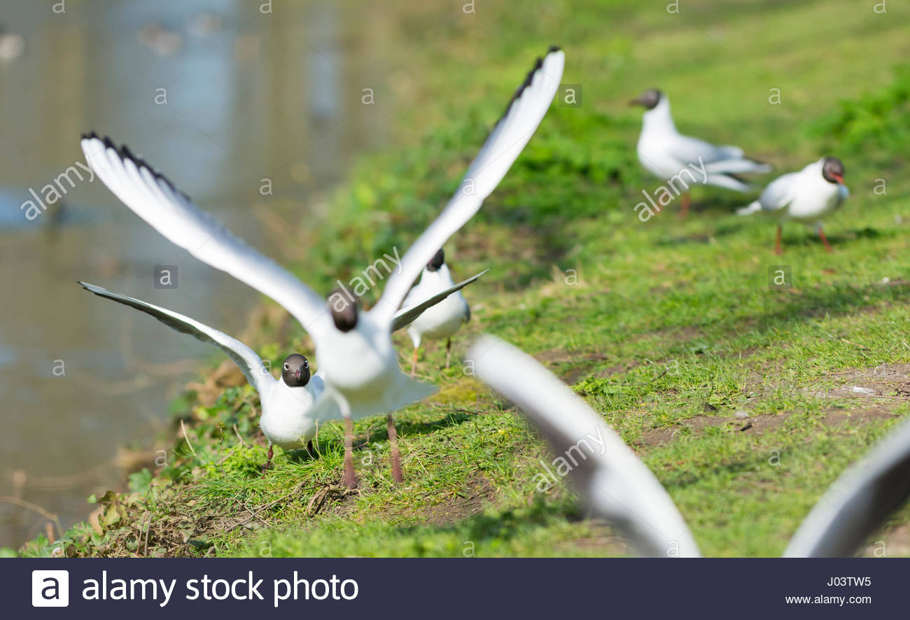 adult-black-headed-gulls-chroicocephalus