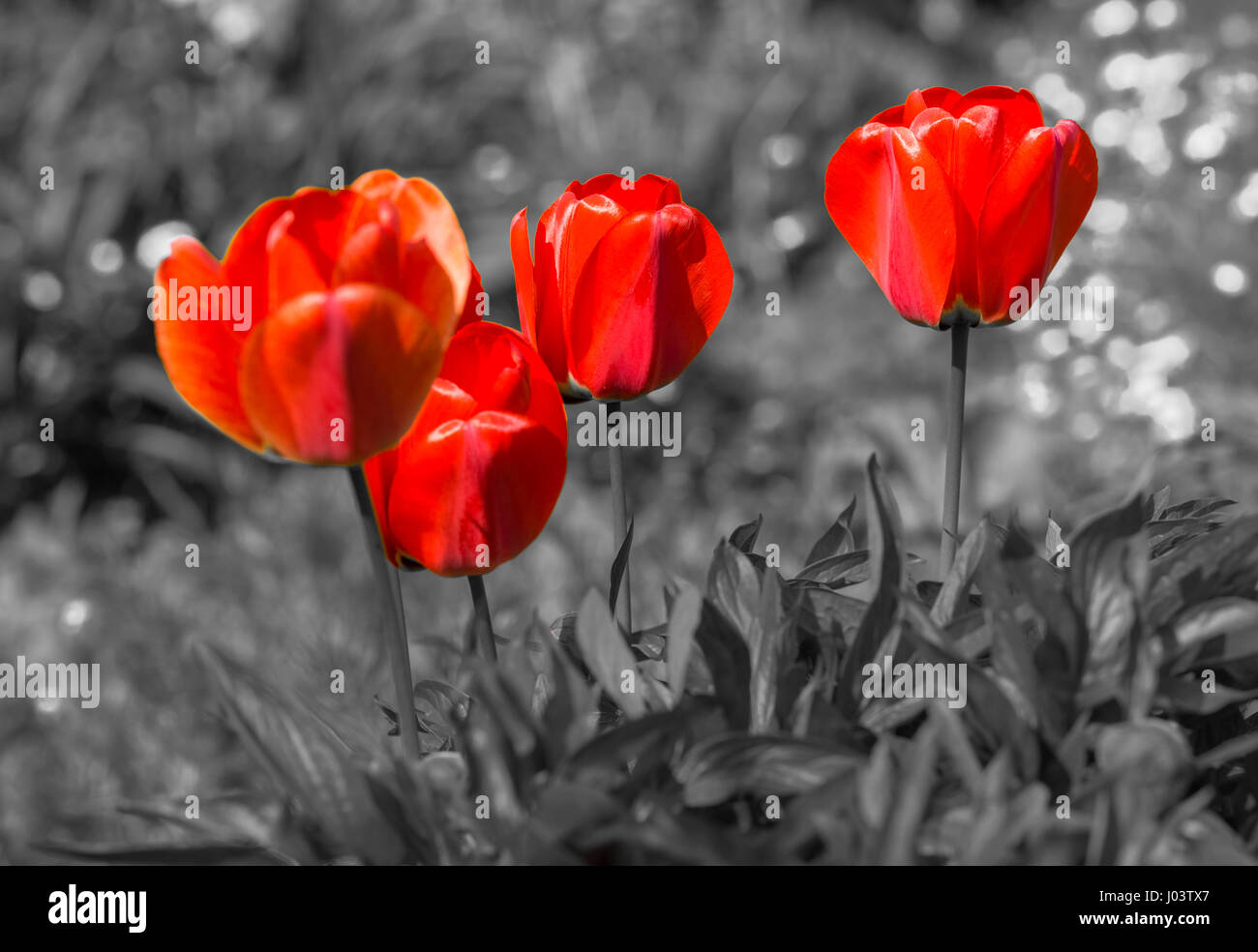 red-tulips-standing-out-against-a-monoch