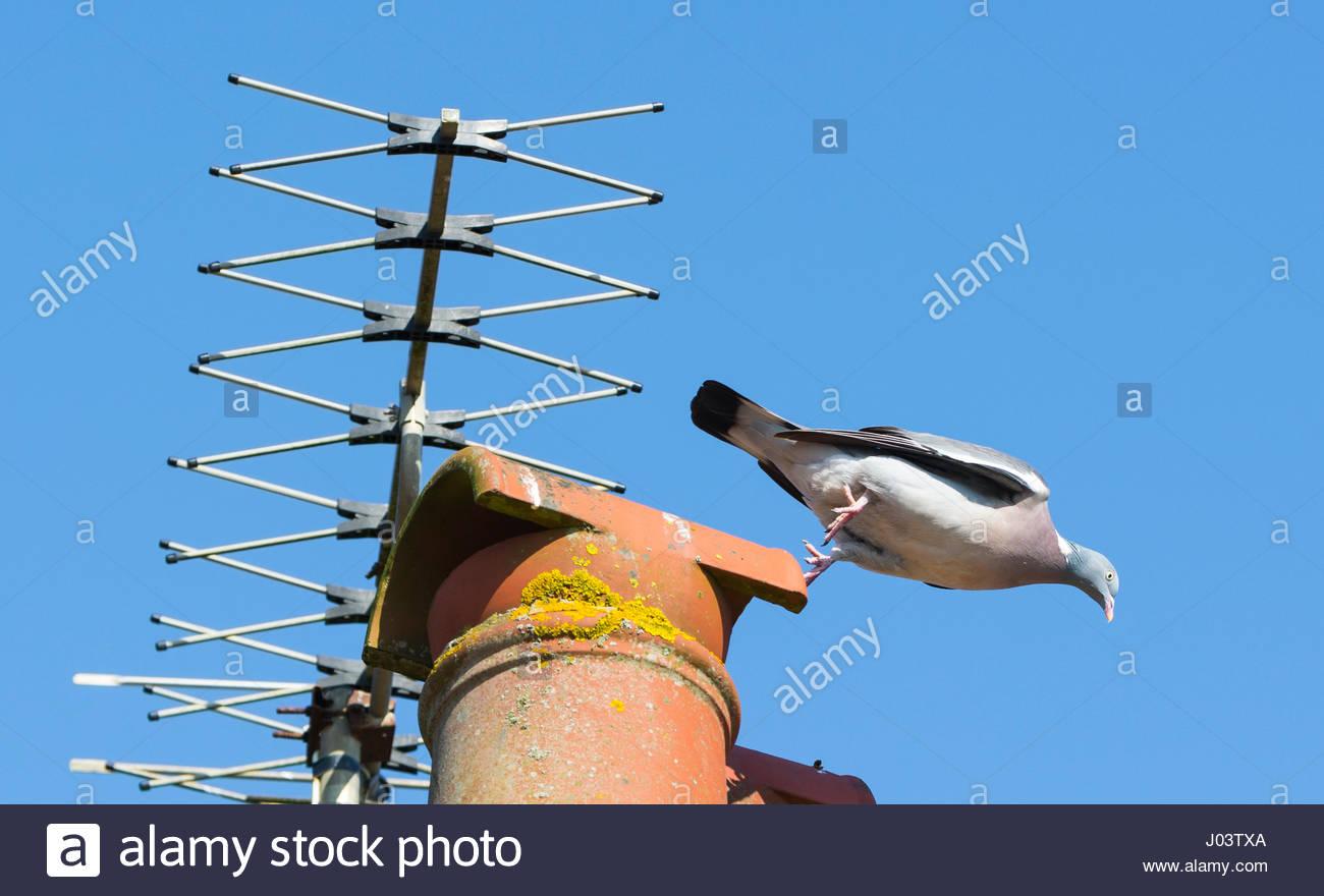 common-woodpigeon-columba-palumbus-jumpi