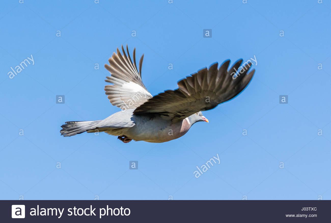 common-woodpigeon-columba-palumbus-flyin