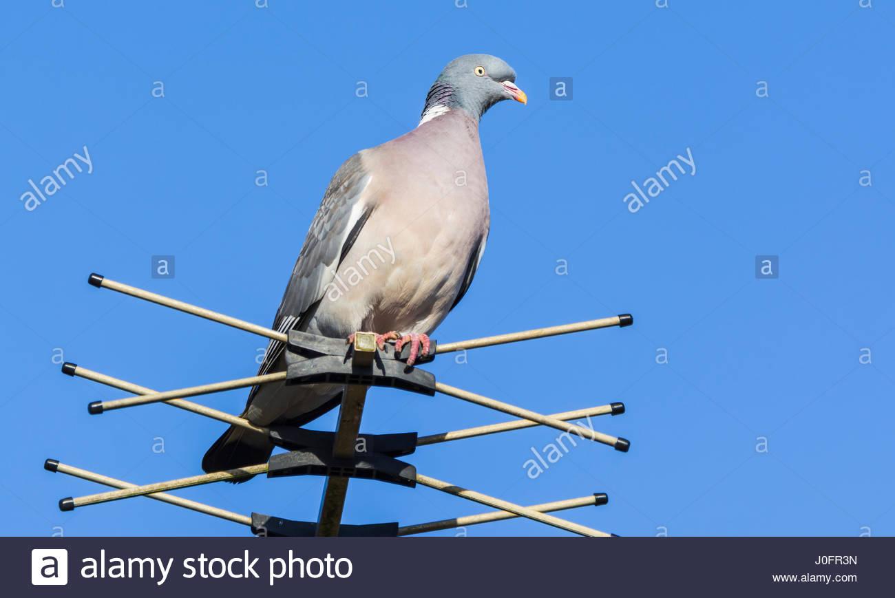 common-woodpigeon-columba-palumbus-perch