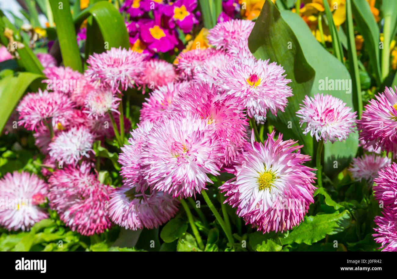 Spring flowers. Bellis Perennis Pomponette plants, AKA Bellis Daisies, in a flower bed in Spring in the south of Stock Photo