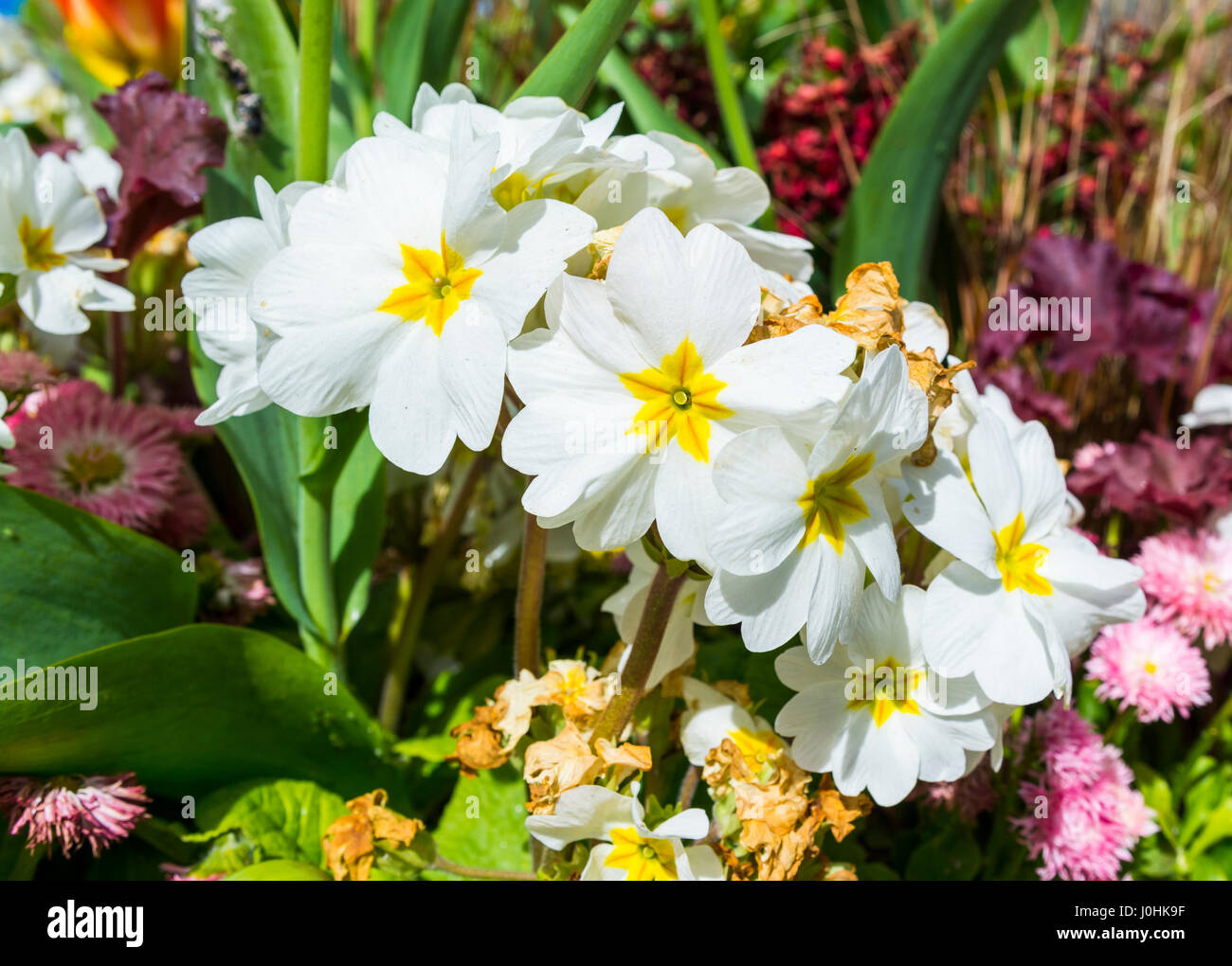Flowers from a Pin-Eyed Primrose plants (Primula vulgaris) in a decorative flowerbed in a small town in Spring, Stock Photo