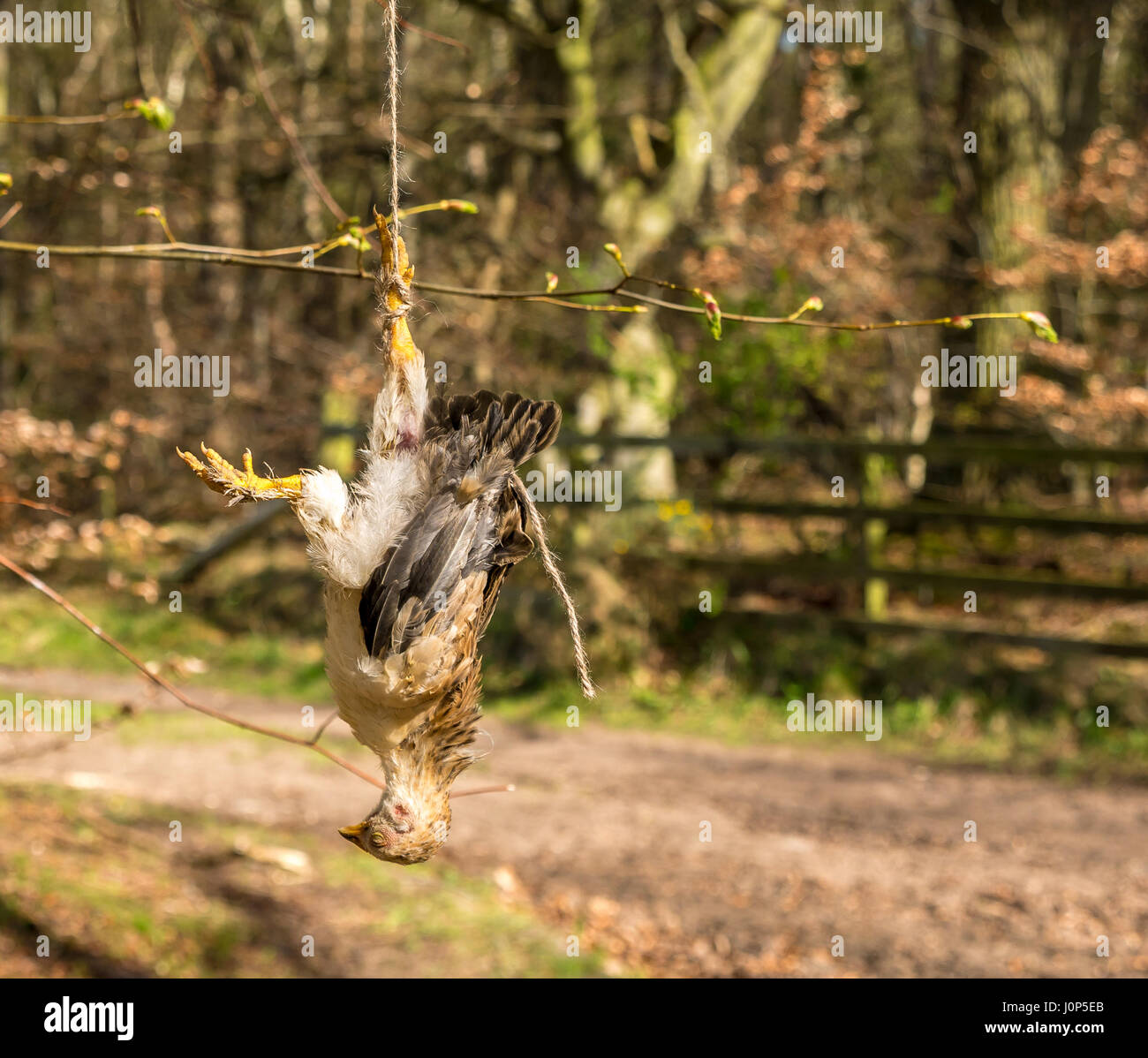 dead-chicken-hanging-upside-down-on-coun