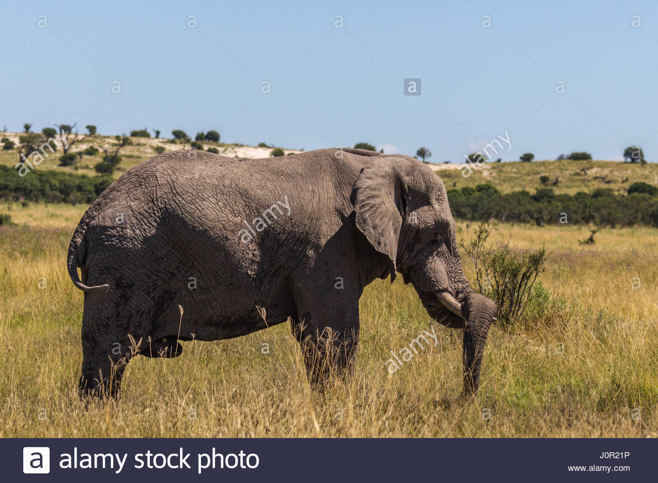an-bull-elephant-rests-its-trunk-on-its-