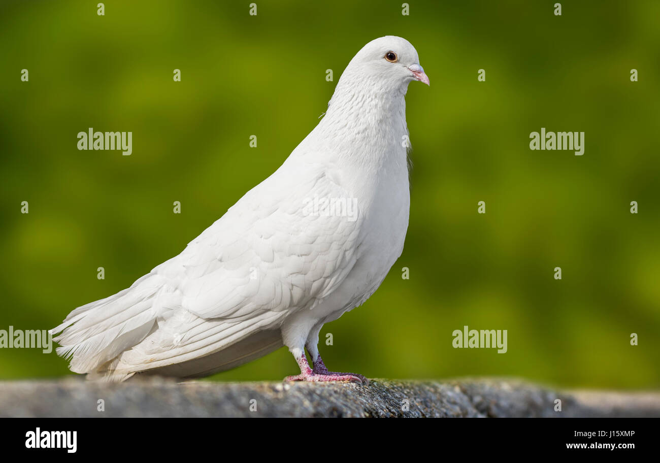 white-pigeon-side-view-of-a-white-domestic-pigeon-columba-livia-domestica-J15XMP.jpg