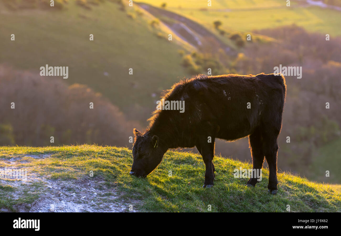 side-view-of-a-single-cow-standing-alone-grazing-on-a-hill-in-the-J19X62.jpg