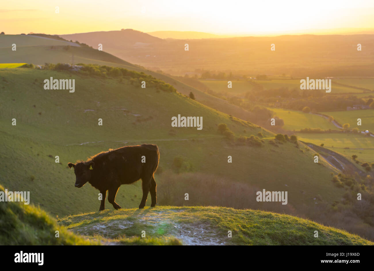 side-view-of-a-single-cow-standing-alone-on-a-hill-in-the-british-J19X6D.jpg