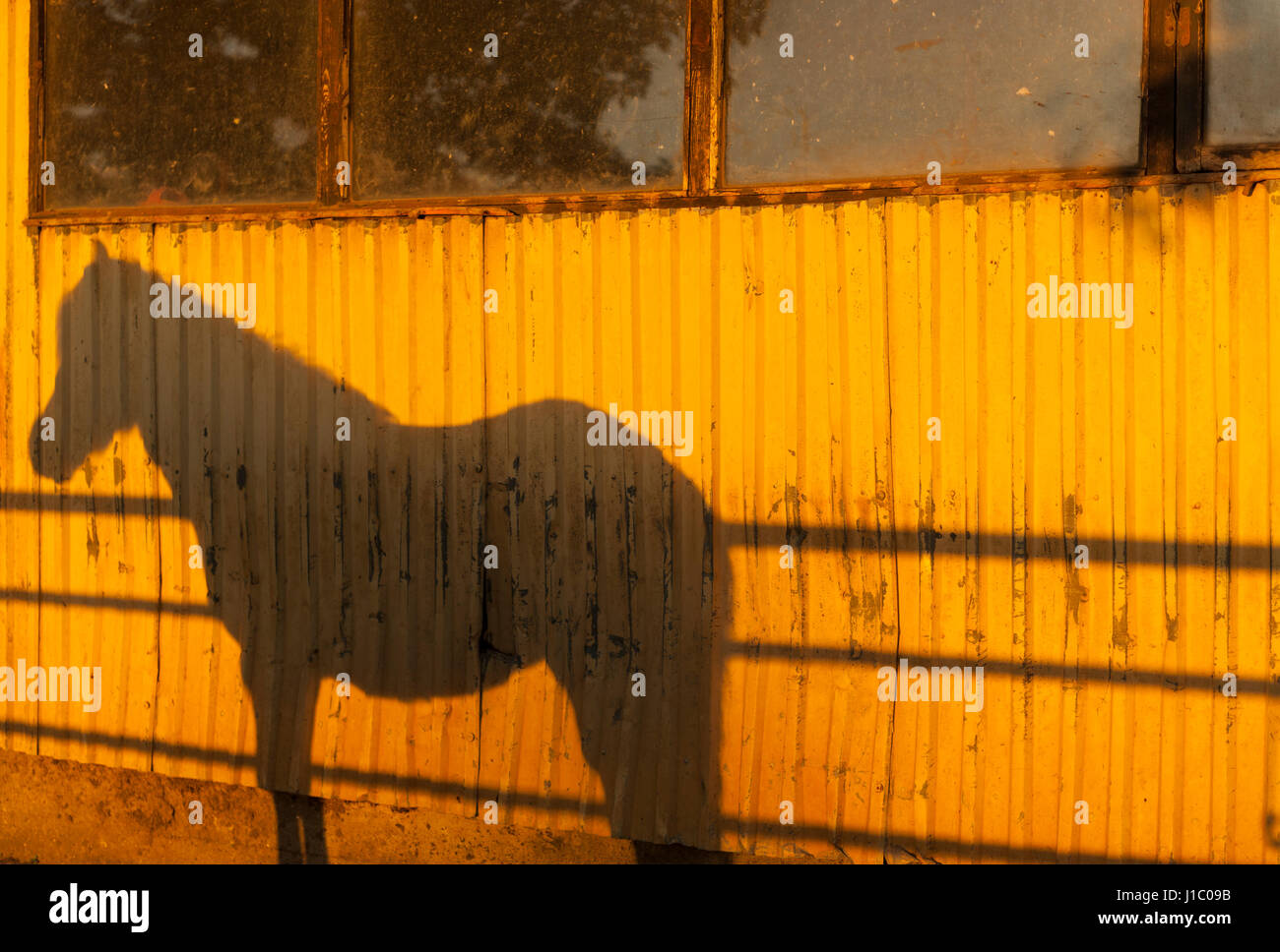 shadow-profile-of-an-icelandic-horse-in-