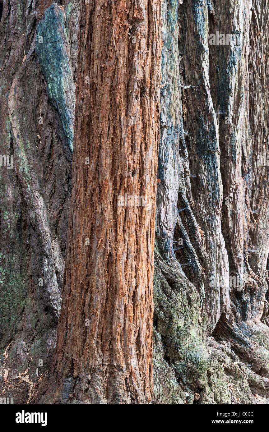 giant-sequoia-coast-redwood-coastal-redw