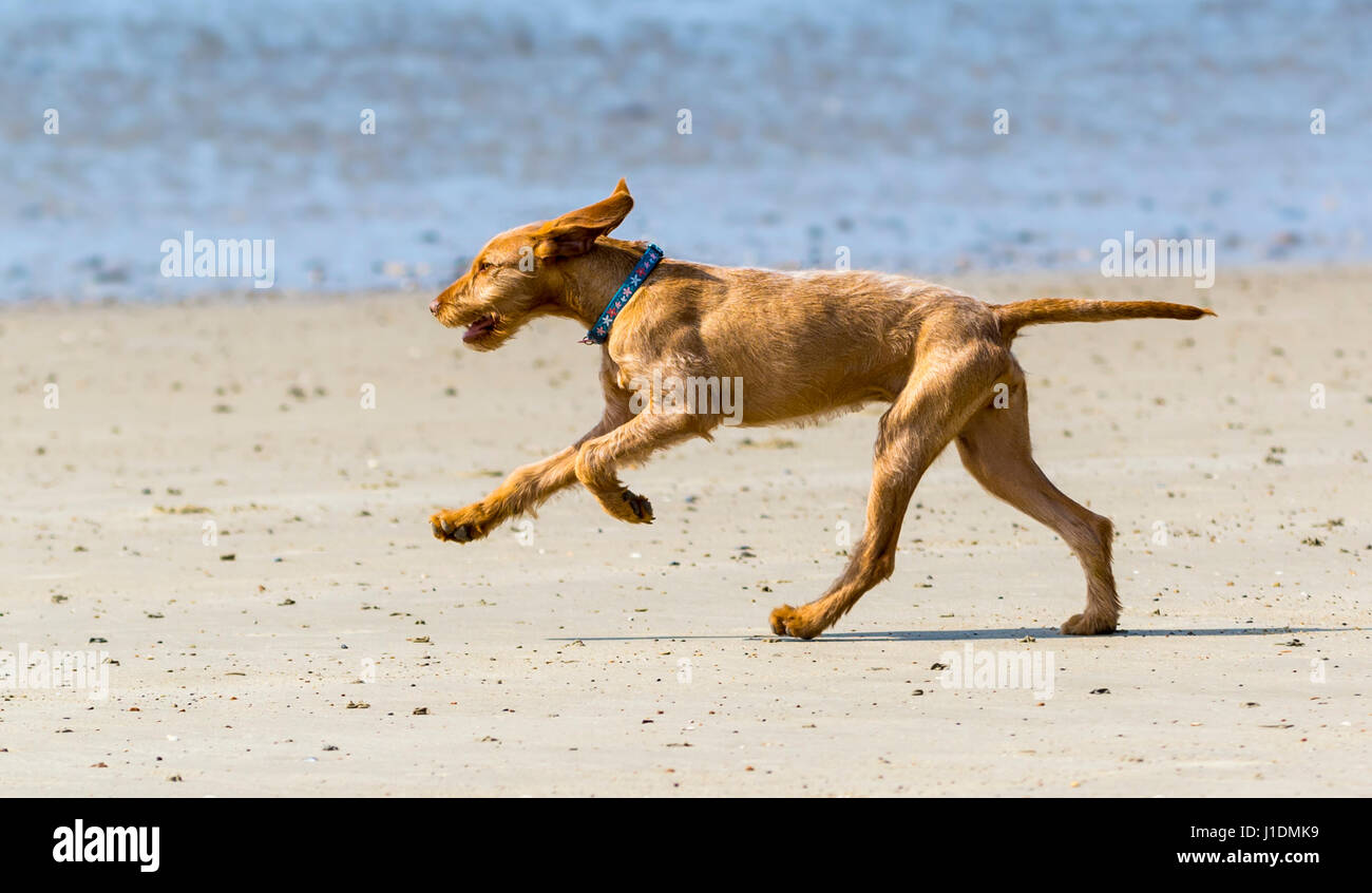 side-view-of-a-large-brown-dog-running-o