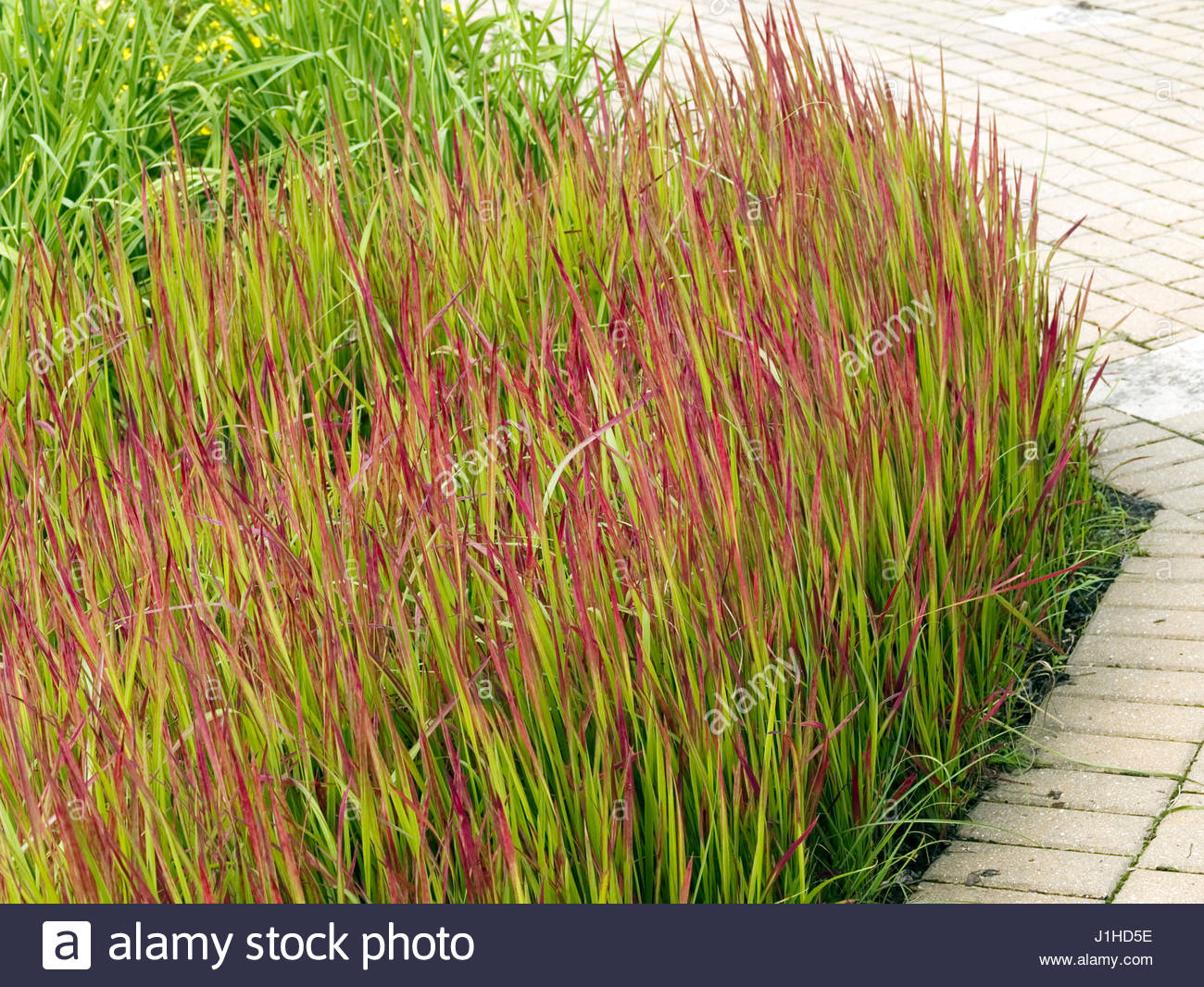 Imperata cylindrica 39 39 red baron 39 39 stock photo 138681130 alamy - Imperata cylindrica red baron ...