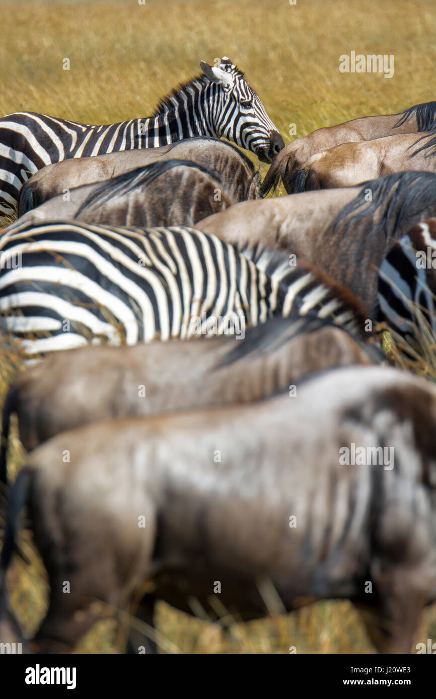 mixture-of-hers-of-buchells-zebras-equus