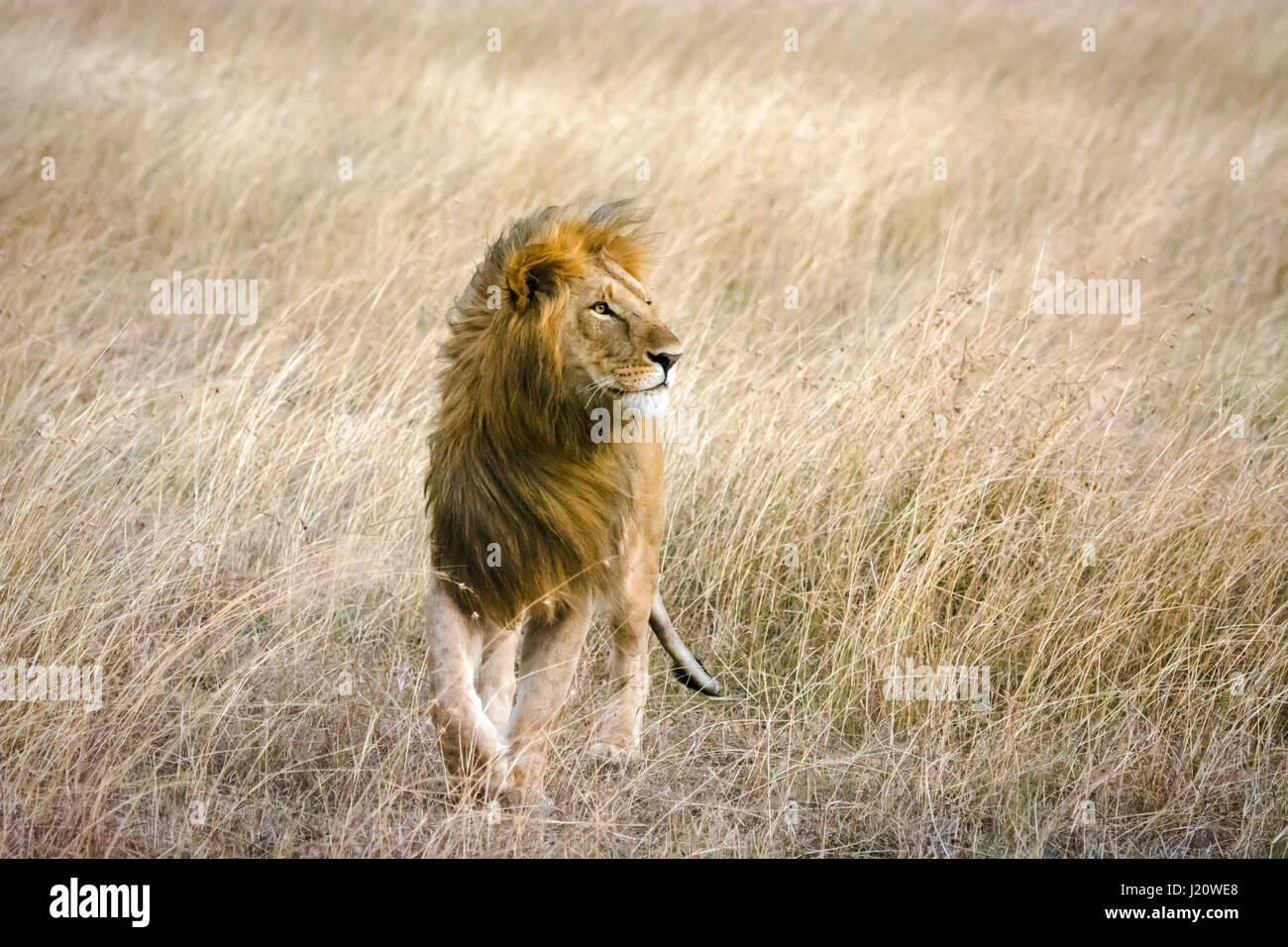 solitary-wild-african-lion-panthera-leo-