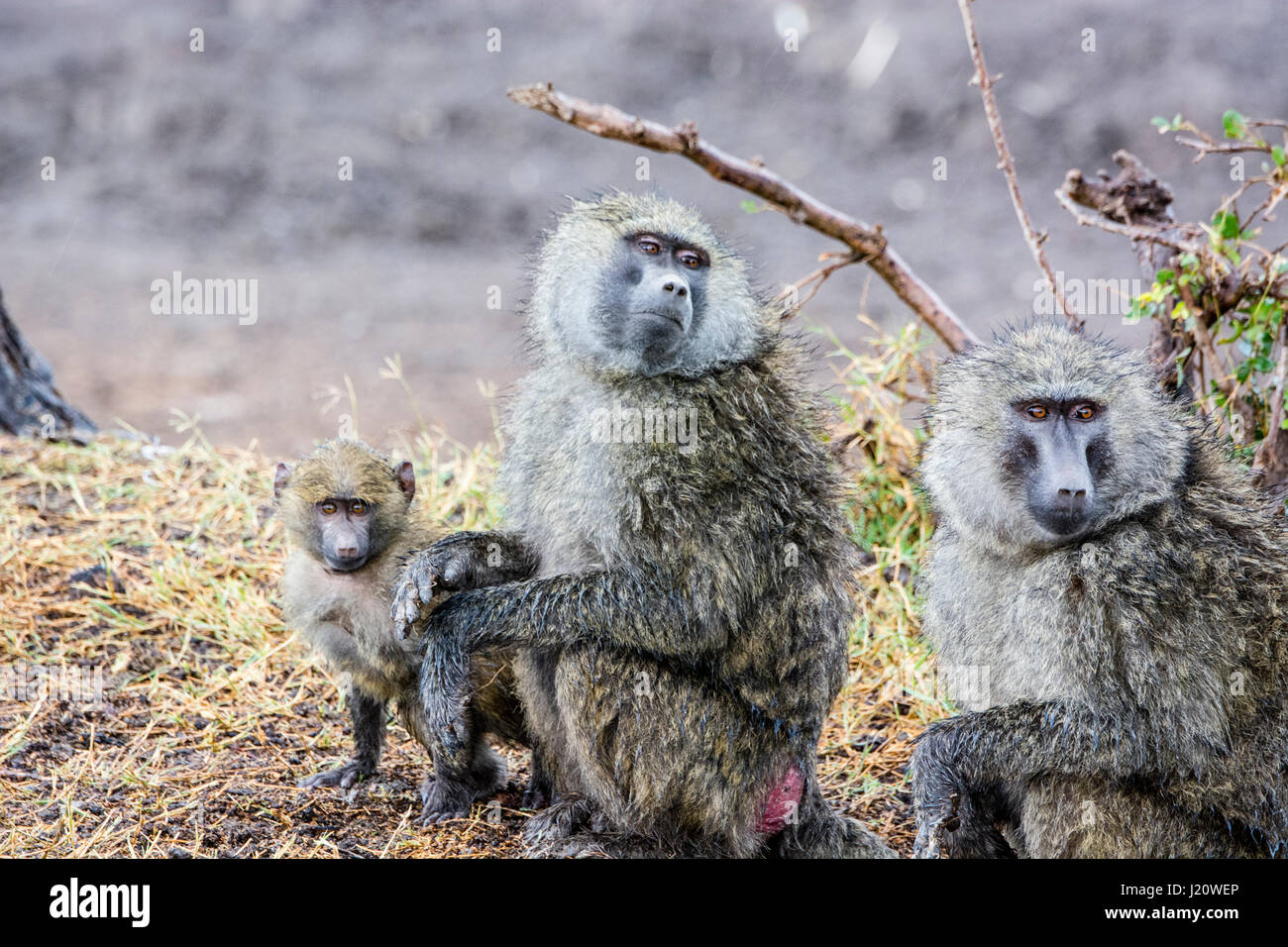 family-of-wild-olive-baboons-papio-anubi