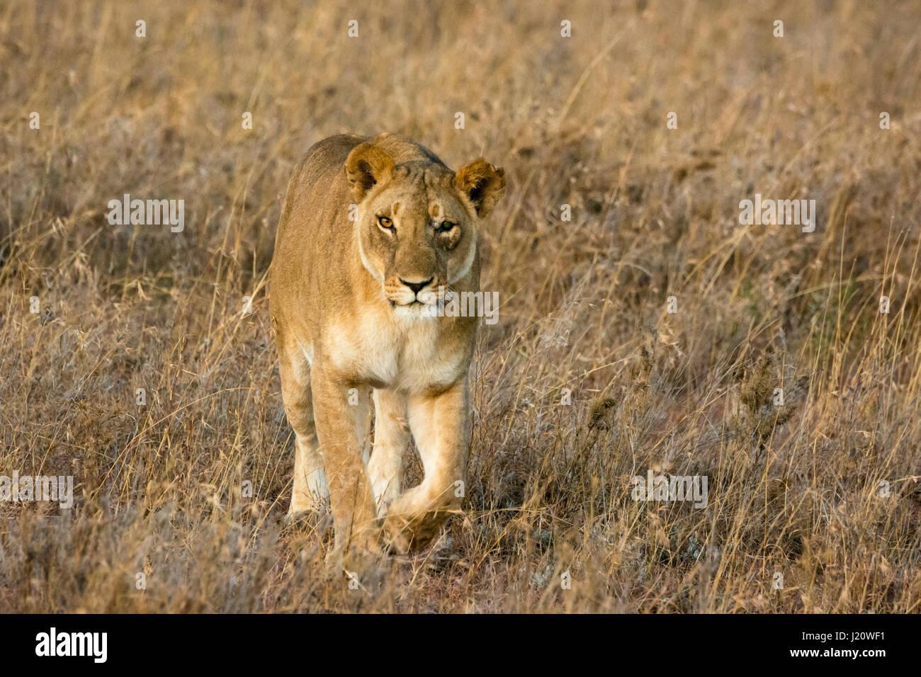 one-eyed-wild-lioness-panthera-leo-walki