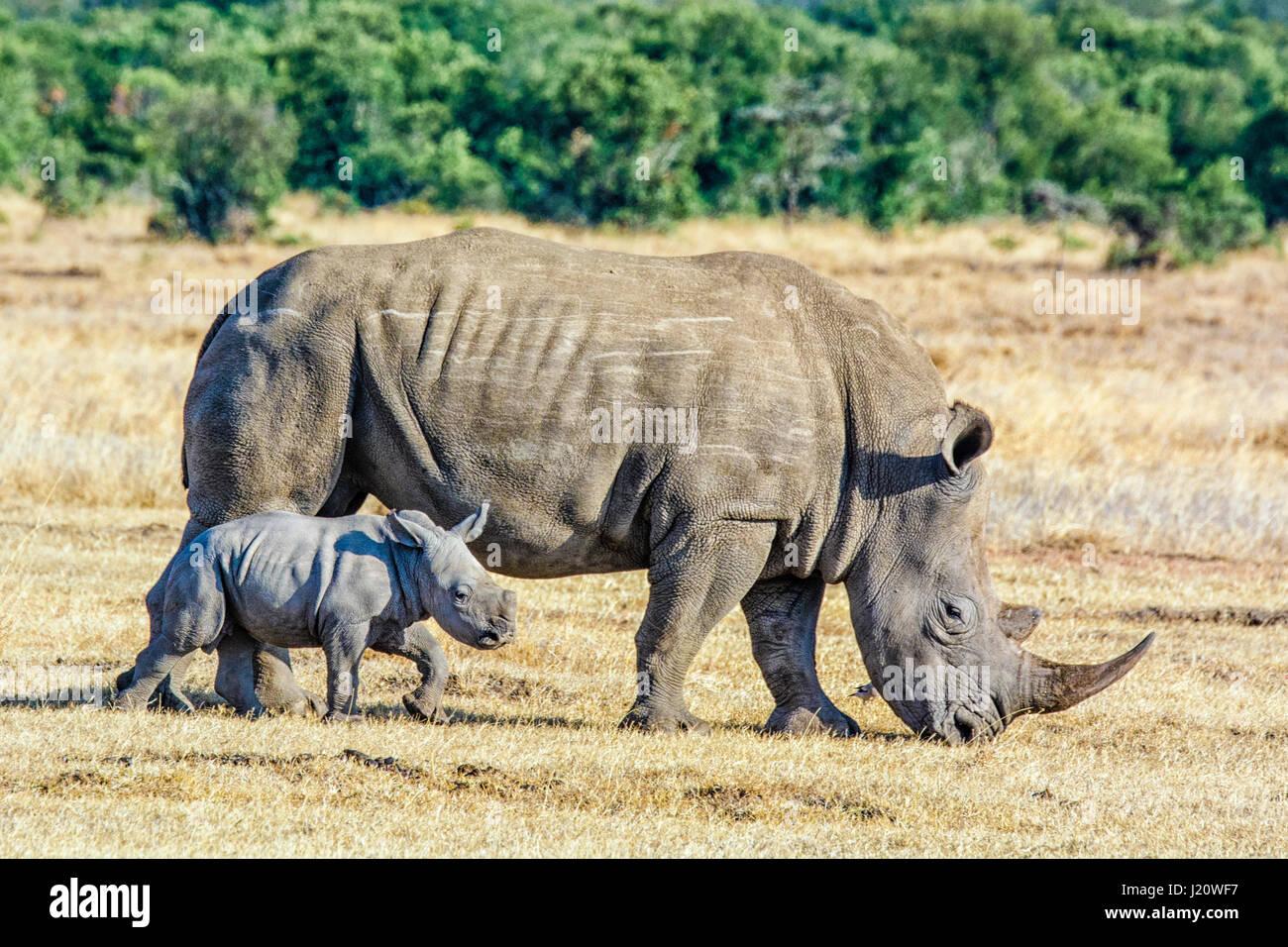 adult-white-rhinoceros-ceratotherium-sim