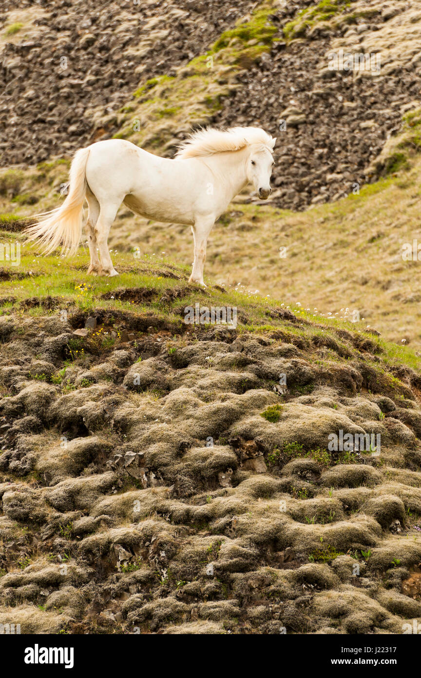 a-white-icelandic-horse-proudly-standing