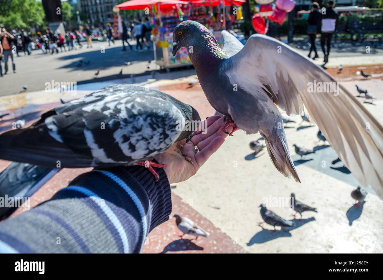 pigeons-eating-bird-seed-from-the-hand-in-plaa-de-catalunya-in-the-J258EY.jpg