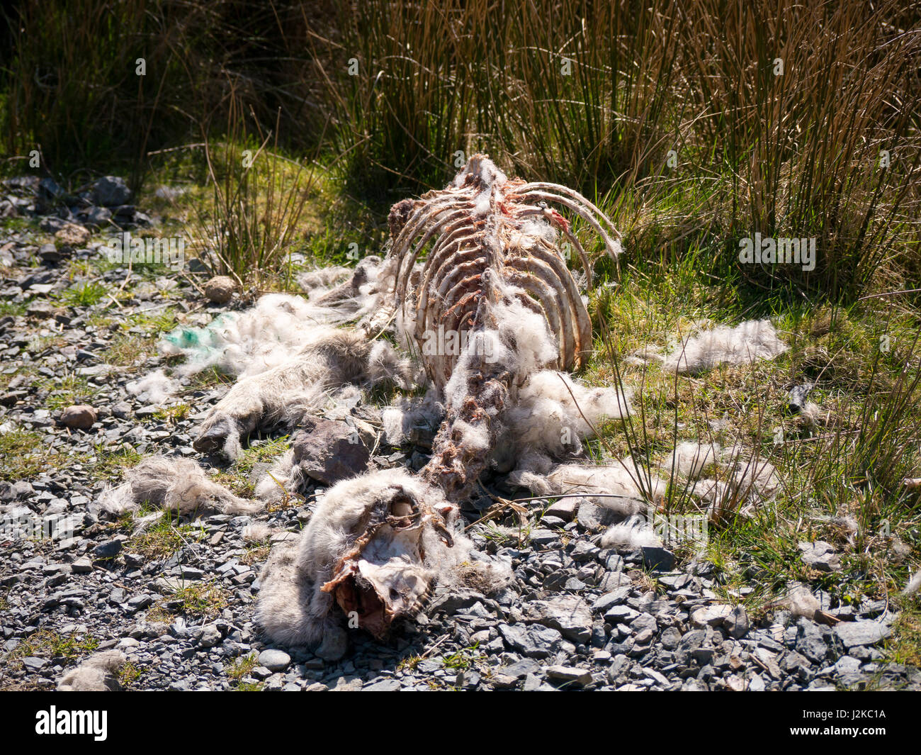 a-sheep-carcass-that-has-been-picked-clean-by-scavangers-lies-beside-J2KC1A.jpg