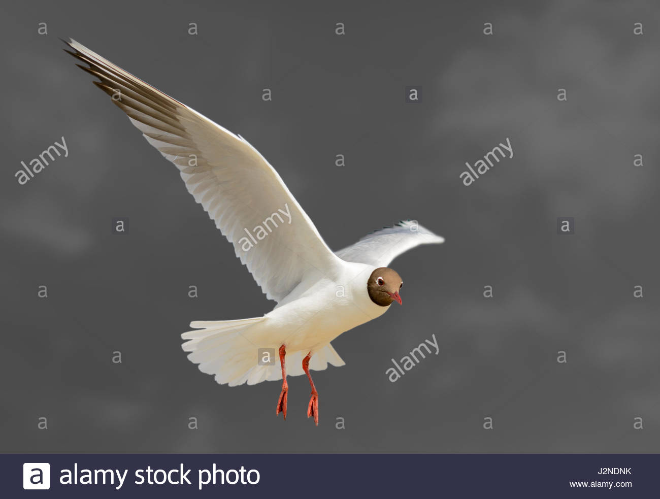 black-headed-gull-chroicocephalus-ridibu