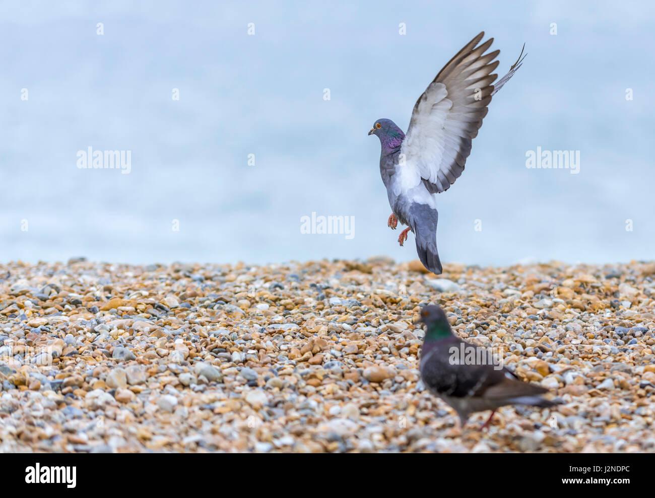 feral-pigeon-columba-livia-domestica-wit
